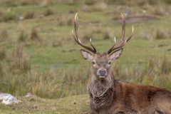 Mâle de cerfs communs rouges, elaphus de Cervus, se reposant, marche, postering pendant l'ornière d'automne, pierres de Cairngorm photo libre de droits