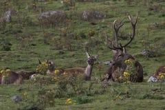 Mâle de cerfs communs rouges en rut, elaphus de Cervus, Ecosse, automne Images libres de droits