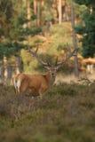 Mâle de cerfs communs rouges en velours Photo stock