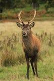 Mâle de cerfs communs rouges sous la pluie d'automne photographie stock libre de droits