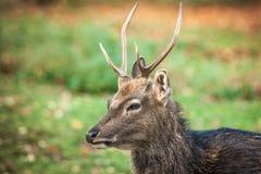 Mâle de cerfs communs de Sika Images stock