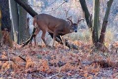 Mâle de cerfs de Virginie Photos libres de droits