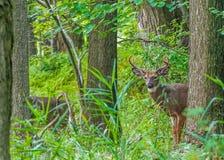Mâle de cerfs de Virginie Photo libre de droits