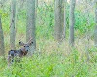Mâle de cerfs de Virginie Image libre de droits