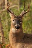Mâle de cerfs de Virginie Photographie stock