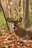 Mâle de cerfs de Virginie Photo stock