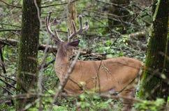 Mâle de cerfs de Virginie de velours dans la crique GSMNP de Cades Photos libres de droits