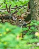Mâle de cerfs de Virginie en velours Photos stock