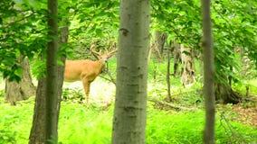 Mâle de cerfs de Virginie en velours banque de vidéos