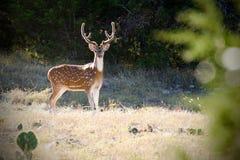 Mâle de Chital de cerfs communs d'axe, andouillers de velours, Texas Hill Country Image stock