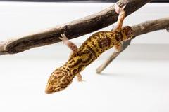 Mâle de gecko de léopard images libres de droits