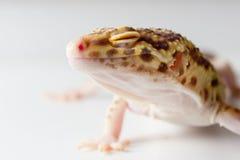 Mâle de gecko de léopard photographie stock libre de droits