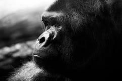 mâle de gorille Photographie stock