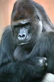 Mâle de gorille Photos libres de droits