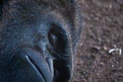 Mâle de gorille Images libres de droits