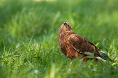 Mâle de harrier de marais observant  Photo stock