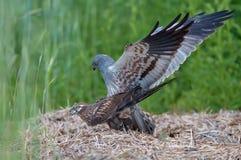 Mâle de harrier de Montagu's et temps femelle de reproduction photos libres de droits