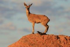 Mâle de Klipspringer sur une roche Photo libre de droits