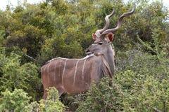 mâle de kudu d'antilope Image libre de droits