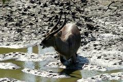 Mâle de l'eau dans la boue Photo stock