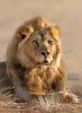 Mâle de lion Photo libre de droits