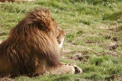 Mâle de lion Images libres de droits
