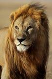 Mâle de lion avec la grande crinière d'or, Serengeti Images libres de droits