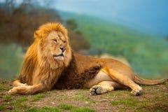Mâle de lion ayant un repos se trouvant sur la montagne Photographie stock