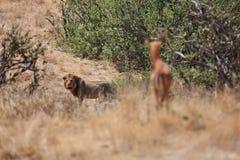 Mâle de lion et sa proie sauvage Images stock