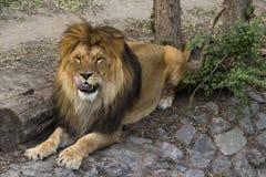 Mâle de lion léchant ses lèvres Image stock