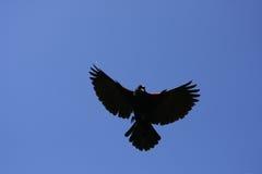 Mâle de merle à ailes rouges Photo stock
