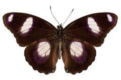 Mâle de misippus de Hypolimnas d'espèce de guindineau Image stock