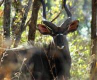 Mâle de Nyala Images libres de droits