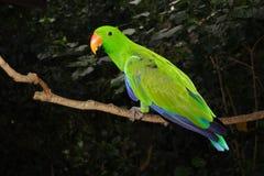 Mâle de perroquet d'Eclectus, Australie Images libres de droits