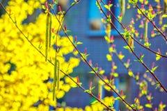 Mâle de saule de Salix et bourgeons femelles de chaton Image stock