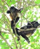 Mâle de singe d'hurleur jeune se reposant dans l'arbre regardant, corcovado national Image stock