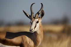 Mâle de Springbuck, Namibie Photos stock