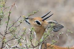 Mâle de Steenbok Photographie stock