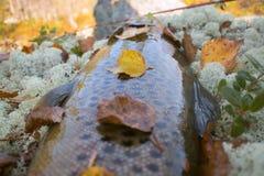 Mâle de truite d'automne dans la couleur d'élevage Photographie stock