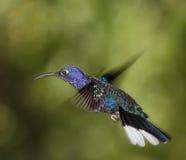 Mâle de Violet Sabrewing photographie stock libre de droits