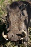 Mâle de Warthog avec de longues défenses, masai Mara Images stock