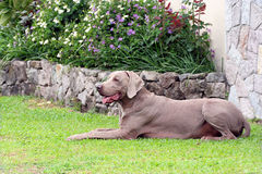 Mâle de Weimaraner Photo stock