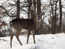 Mâle de Whitetail Photo stock