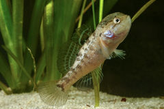 Mâle des poissons chinois de dormeur, gleni de perccottus Images stock