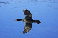 Mâle Double-Crêté de Cormorant Photo libre de droits