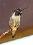 Mâle du colibri d'une côte photos libres de droits
