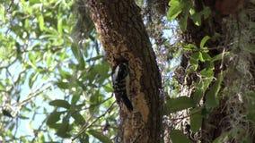 Mâle duveteux de pivert sur un arbre banque de vidéos