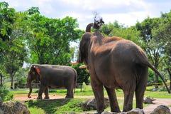 Mâle et éléphants asiatiques femelles images libres de droits