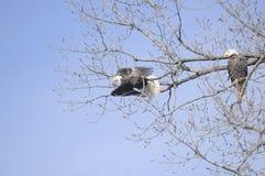Mâle et aigles chauves femelles donnant sur le lac image libre de droits