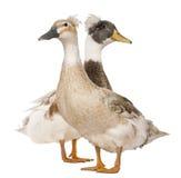 Mâle et canard crêté femelle, 3 années Photo stock